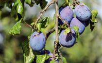 Почему гниют плоды сливы на дереве