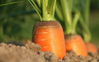Почему морковь вырастает горькая