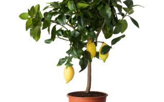 почему желтеют и опадают листья у лимона