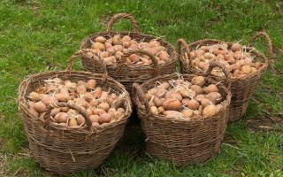 Почему гниет картофель в земле и сразу после уборки