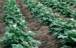Почему на картофеле появляются борозды