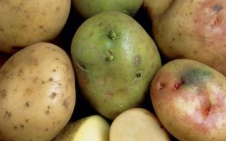 Почему картофель зеленеет при храненнии