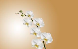 Почему у орхидеи опадают цветы